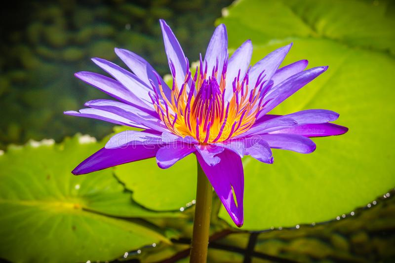 Purple lotus with yellow pollen. Close up hybrid purple lotus flower 'King of Siam', a tropical waterlily which was created in royalty free stock photography