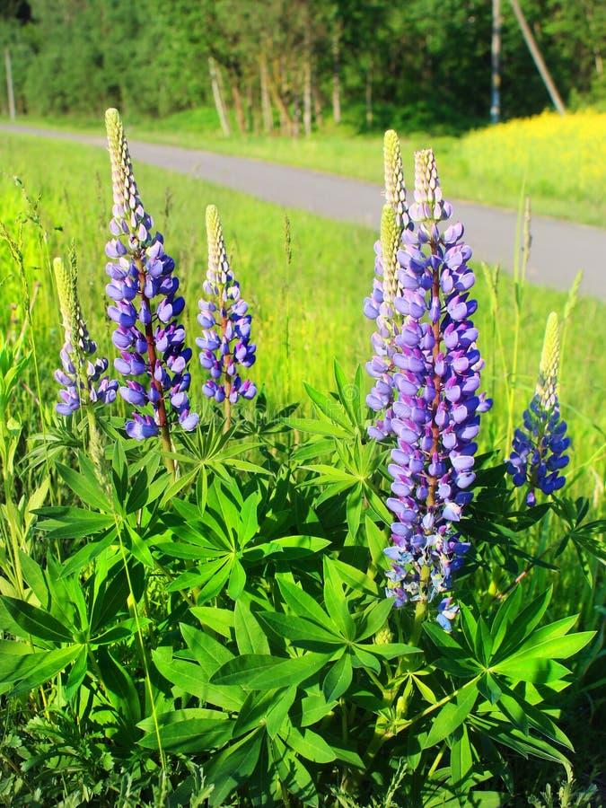 Free Purple Lupin Stock Image - 41842371