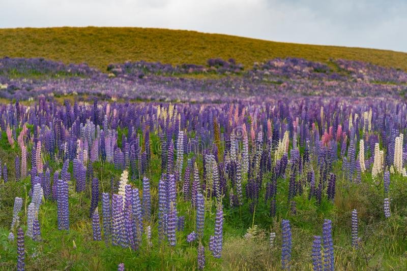 Purple lupine flower field full bloom condition stock images
