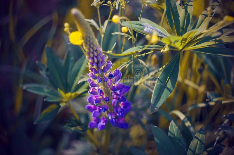 A purple lupine flower grows among yellow flowers on a summer day. A bright purple lupine flower grows among yellow flowers in a clearing illuminated by bright royalty free stock images