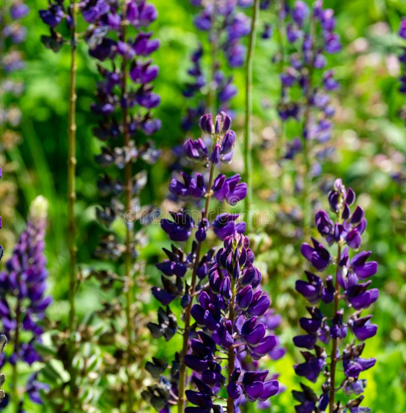 Purple Lupinus or lupine flower close-up with natural green background. Lupin nice lilac color. Purple flowers with copy space using as natural flower stock images