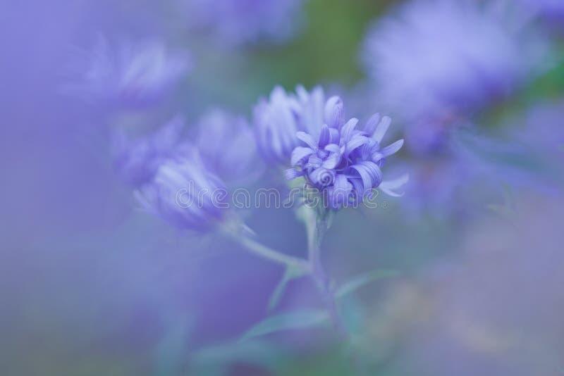 Purple macro detailed Aster wildflower royalty free stock photos