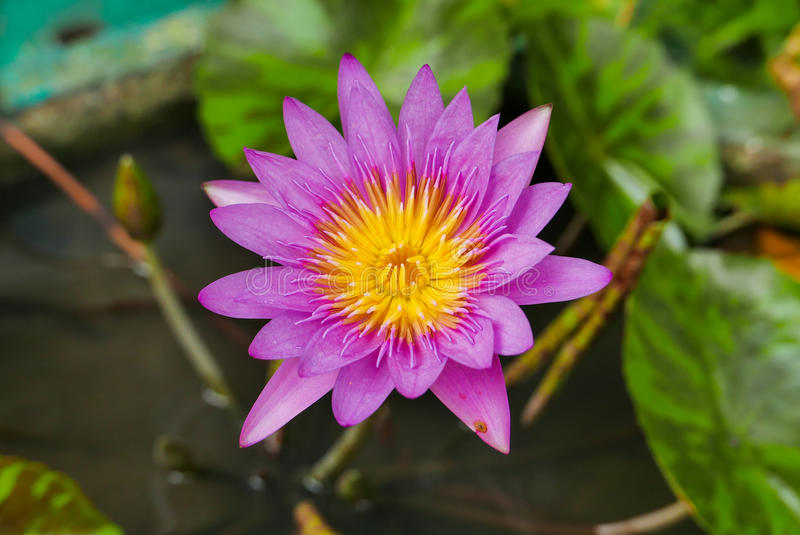 Purple magenta lotus flower or Water lilies in a pond. Purple magenta lotus flower or Water lilies Nymphaeaceae in a pond royalty free stock image