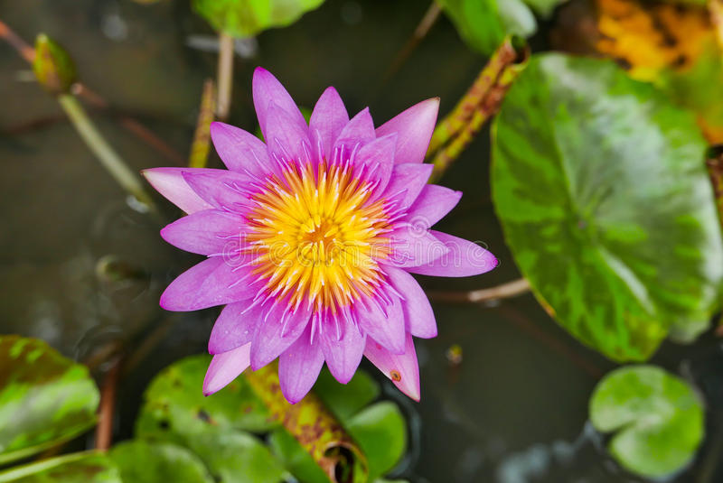 Purple magenta lotus flower or Water lilies in a pond. Purple magenta lotus flower or Water lilies Nymphaeaceae in a pond royalty free stock images