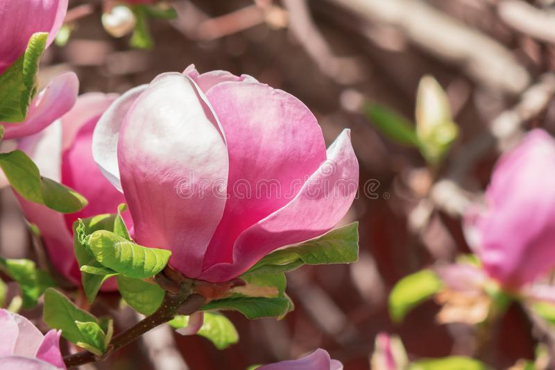 Purple magnolia blossom royalty free stock images