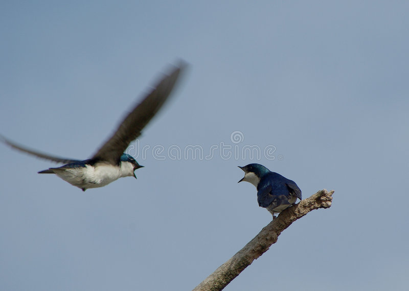 Purple Martins Fighting royalty free stock image