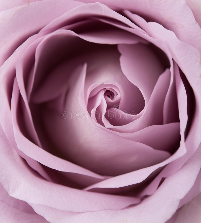 Free Purple, Mauve Color Fresh Summer Rose Macro Shot, Natural Abstra Stock Images - 93603994