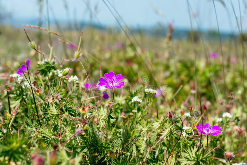 Purple meadow geranium in the field. On sunny day stock photo