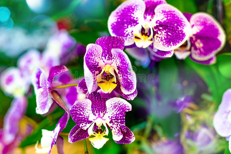 Purple Moon Orchid or Known As Charm Flower. Phalaenopsis Amabilis Batik Variance stock image