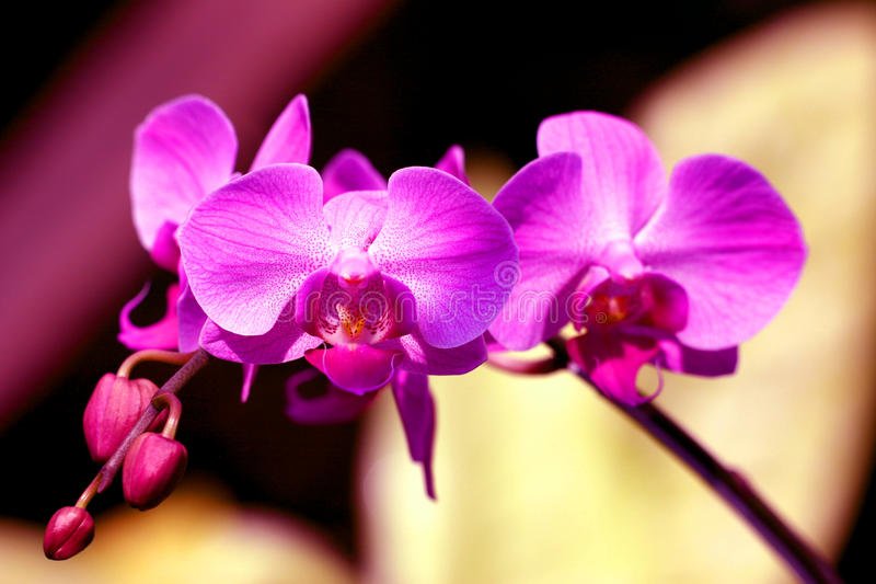 Purple Moons Orchid stock images
