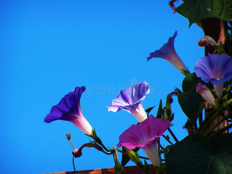 Purple morning glory bloom finds a ray of morning sun. Purple morning glory flower opening in an isolated ray of morning sun in the midst of a shaded cluster of royalty free stock images