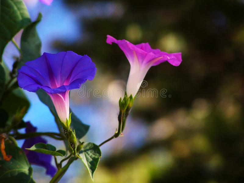 Purple morning glory bloom finds a ray of morning sun. Purple morning glory flower opening in an isolated ray of morning sun in the midst of a shaded cluster of stock photography