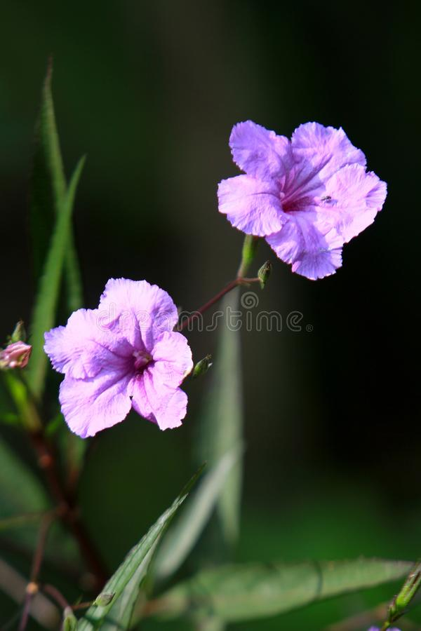 A purple morning glory in a tropical garden in the afternoon sun stock photo