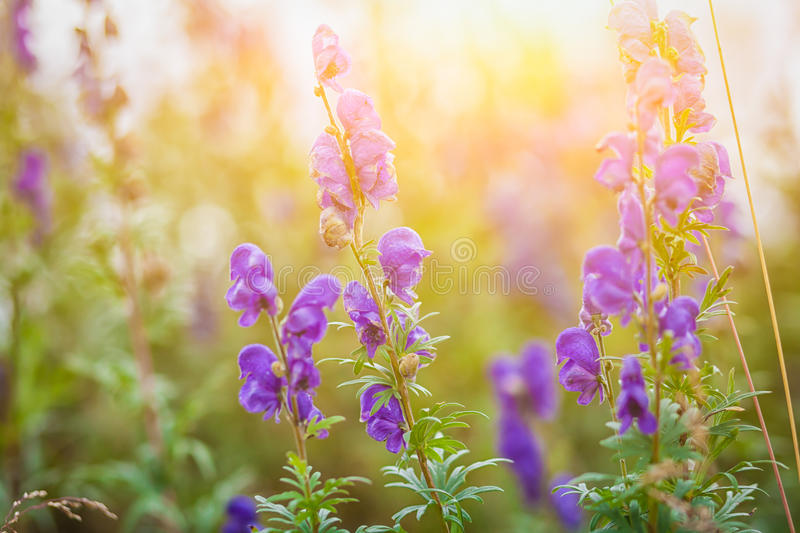 Purple mountain flowers royalty free stock photo