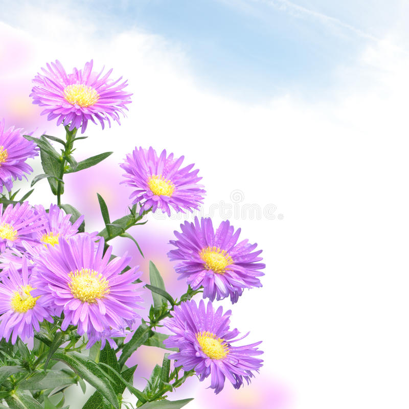 Free Purple Mum Flowers Stock Images - 21877684