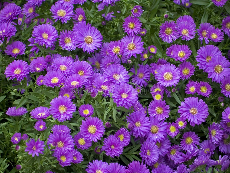 Purple Mums Royalty Free Stock Photography