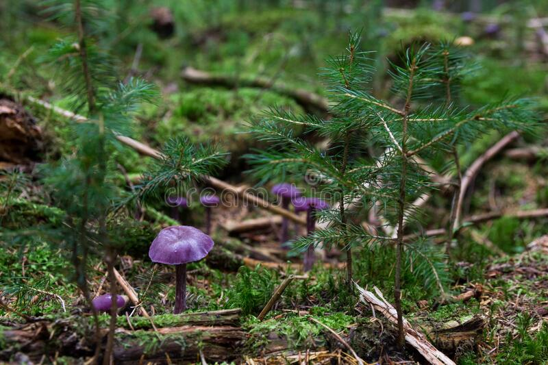 Purple Mushrooms On Ground Free Public Domain Cc0 Image