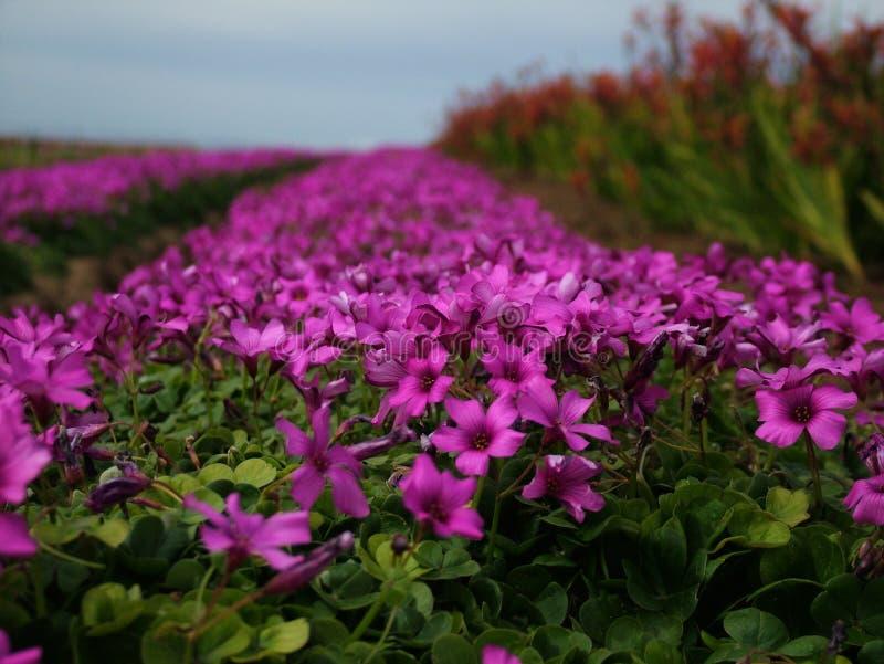 Purple na Regen stock foto's