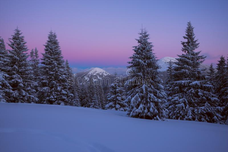 Purple night in the winter mountains. Huge spruces covered with snow under purple sky, after sunset. Magical winter in a wilderness royalty free stock photography