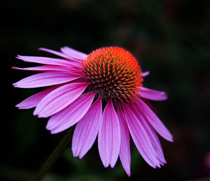 Purple and orange flower royalty free stock image