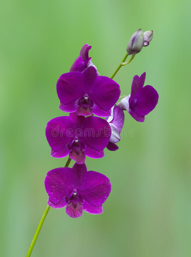 Download Purple Orchid stock image. Image of singaporean, flower - 11527301