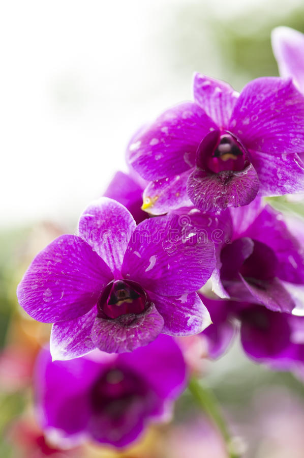 Download Purple Orchid Royalty Free Stock Photos - Image: 13103938