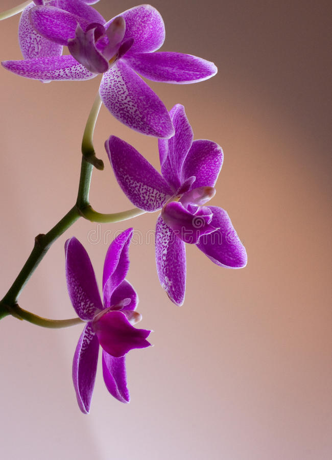Download Purple Orchid stock photo. Image of orchid, purple, gift - 13193976