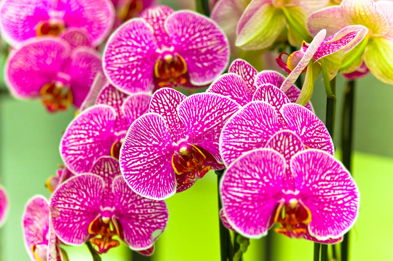 Download The purple orchid stock image. Image of flower, blossom - 14857495