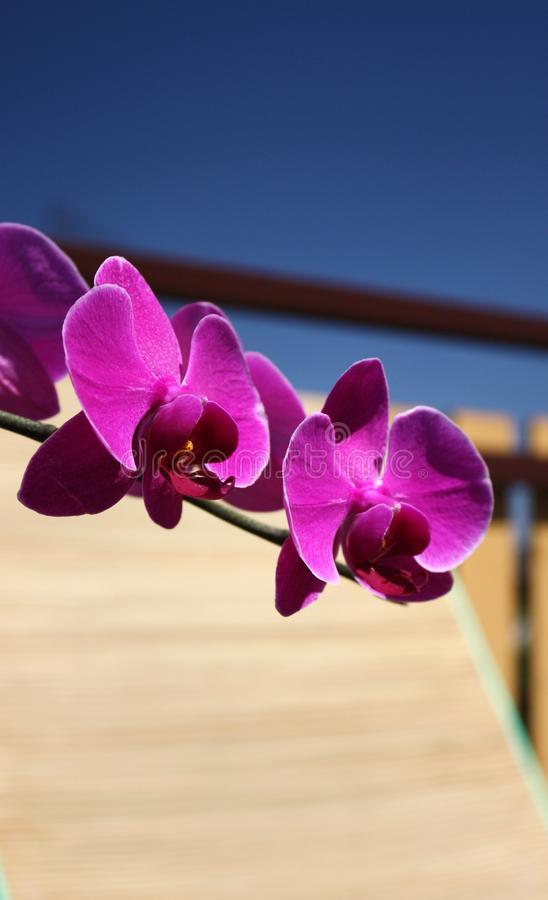 Download Purple orchid stock photo. Image of houseplant, beautiful - 15223274