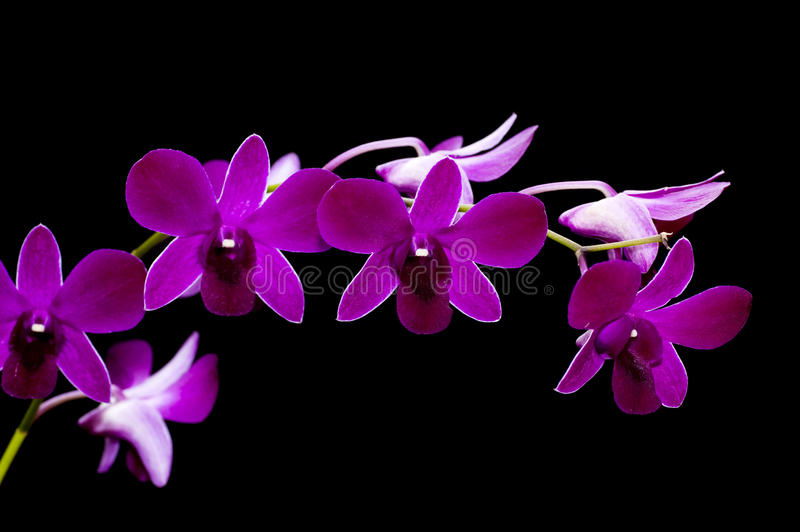 Purple orchid. Macro on purple orchid isolated on black stock photography