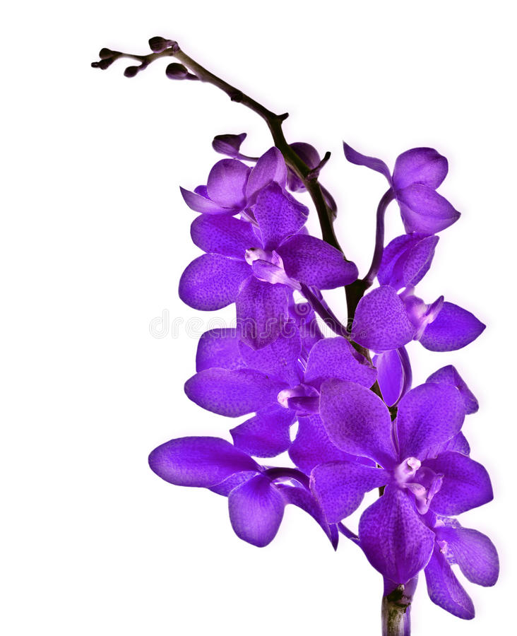 Purple orchid. Purple fresh orchid flower isolated on white background stock images