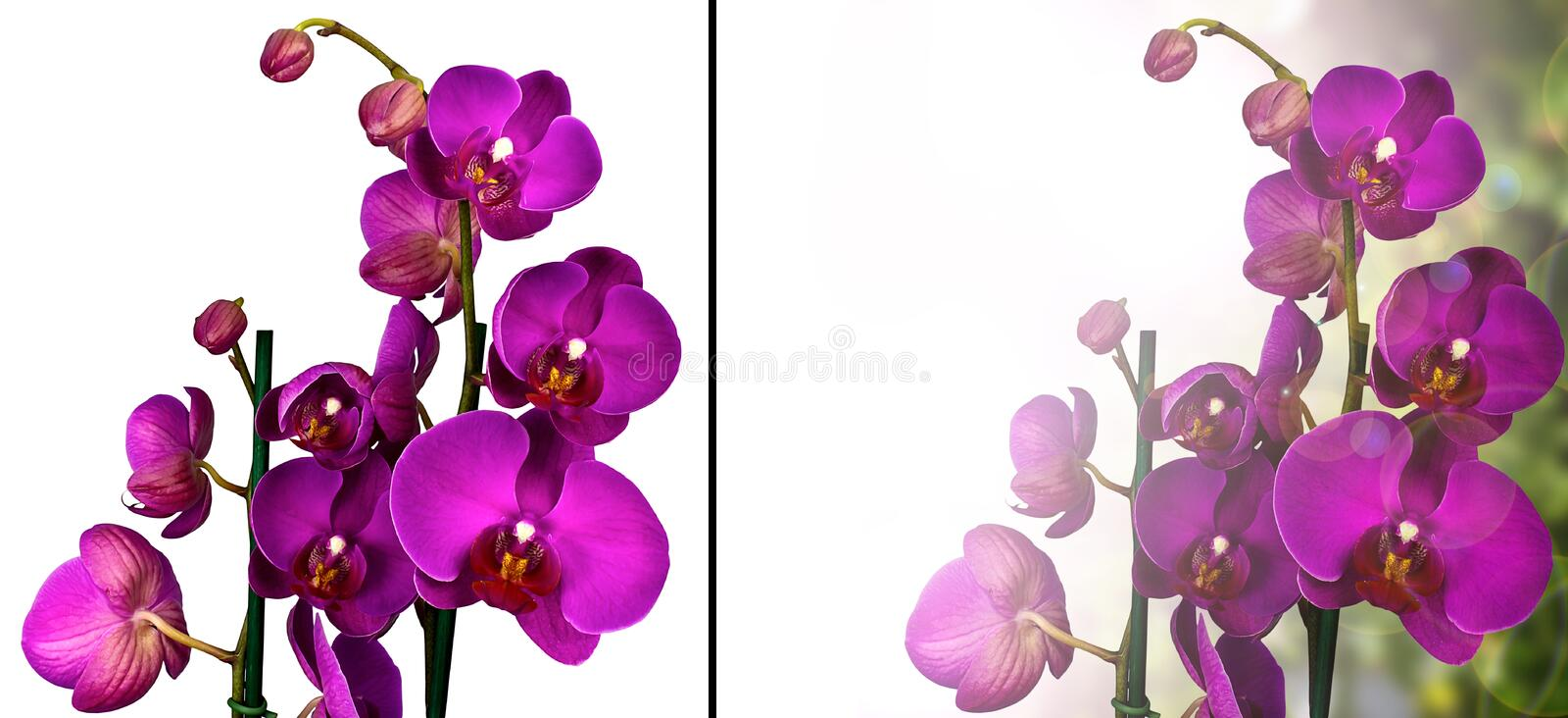 Purple Orchid. Collage. Isolated on white. And one made as a nice background stock photography
