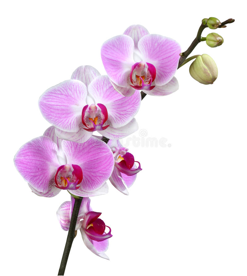 Download Purple orchid stock image. Image of beautiful, petal - 24163241