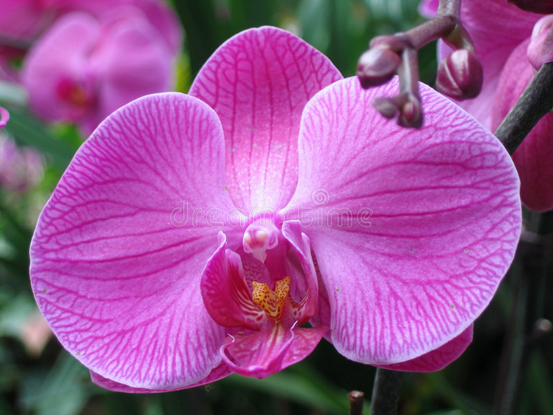 Download Purple Orchid Royalty Free Stock Photos - Image: 515518