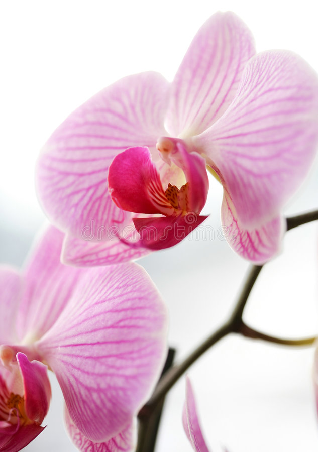 Free Purple Orchid Stock Images - 8491984