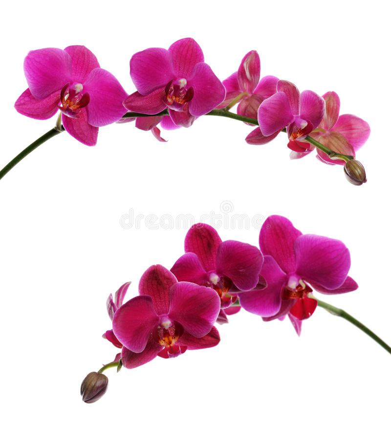 Download Purple orchid stock photo. Image of petal, beauty, white - 40807684