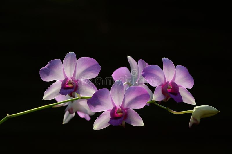 Purple orchid. On black background stock photography