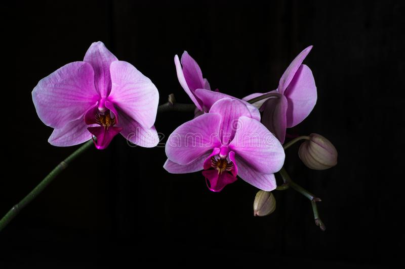 Purple orchid on black background, space for text. Valentine& x27;s day. Valentine. Mother& x27;s day. Spa royalty free stock photos