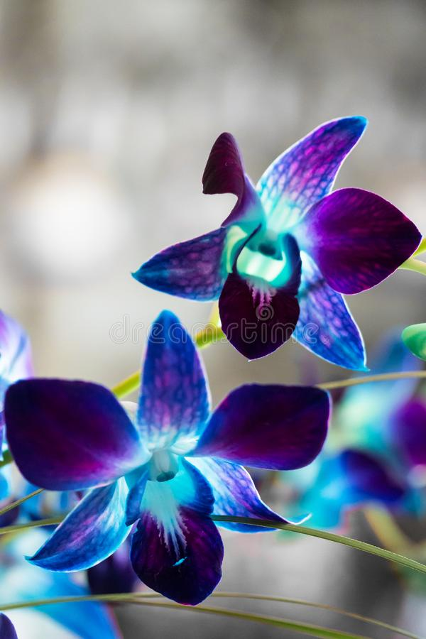 Purple Orchid Blooms 2. Macro Shot of purple and blue orchid blooms royalty free stock image
