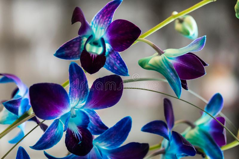 Purple Orchid Blooms 4. Macro Shot of purple and blue orchid blooms stock image