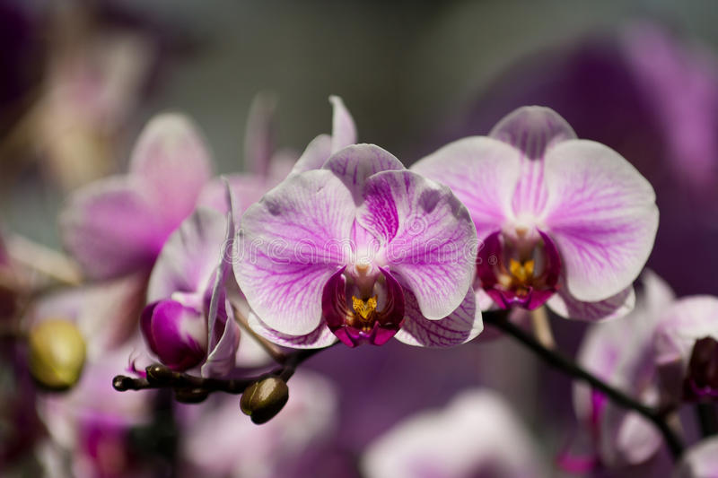 Purple orchid in the botanical garden. Photo taken in Montreal Botanical Garden stock photos