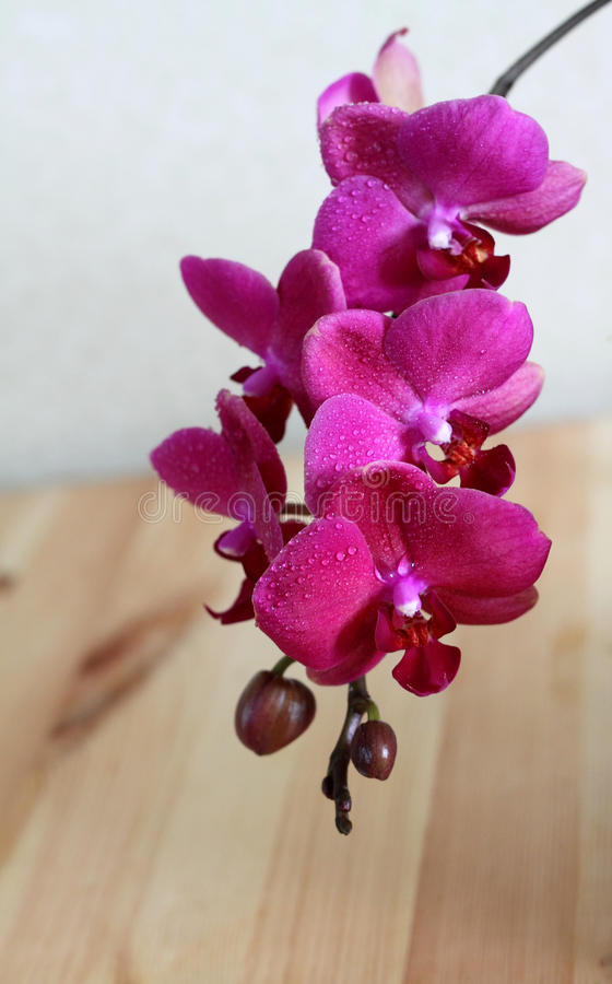 Purple orchid. Branch of a purple orchid with drops of water stock photography