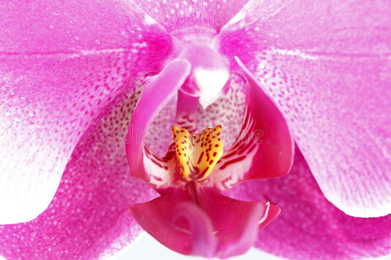 Download Purple orchid stock image. Image of daisy, elegance, carpel - 31196175