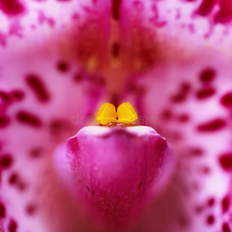 Purple orchid closeup. Square macro photography stock image