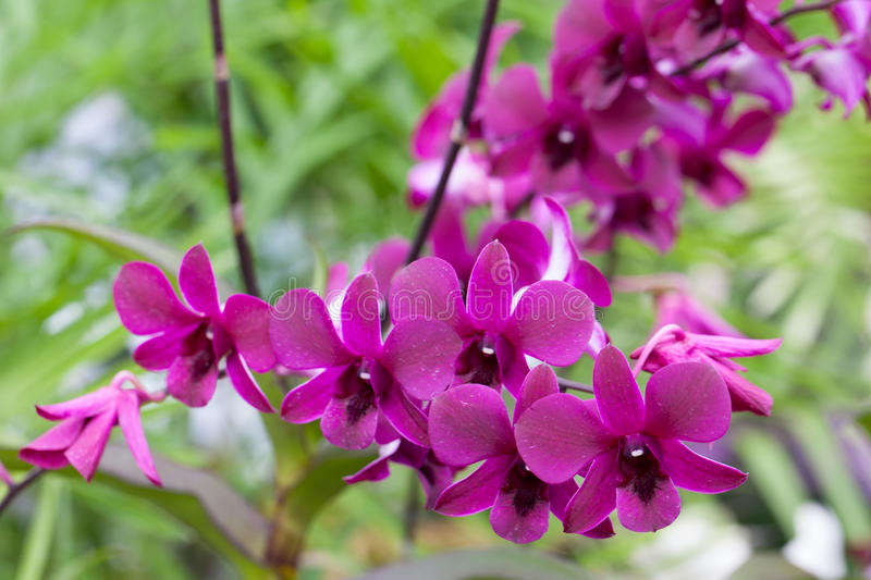Purple orchid closeup royalty free stock image
