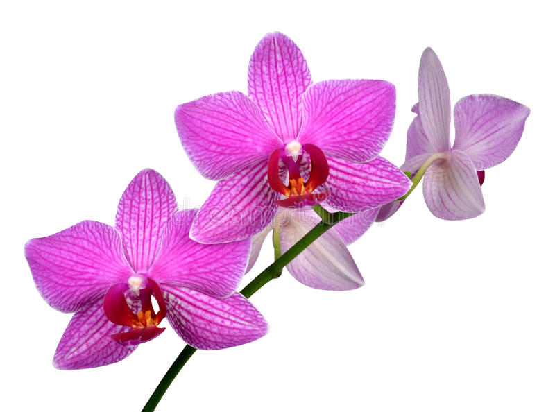 Purple Orchid Stock Photo