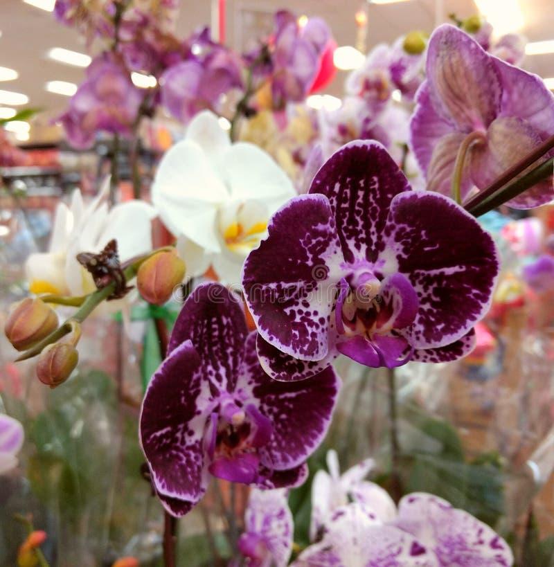 Purple Orchid Display stock photo