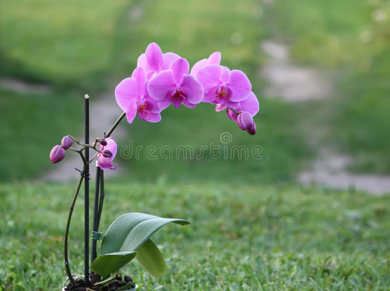 Purple orchid flower. Beaitiful blooming purple orchid flower on summer nature background stock images