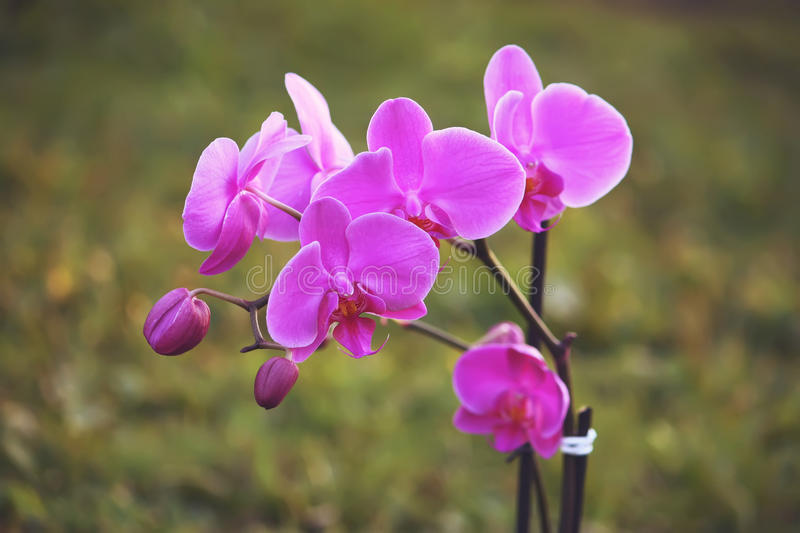 Purple orchid flower. Beaitiful blooming purple orchid flower on summer nature background stock photo