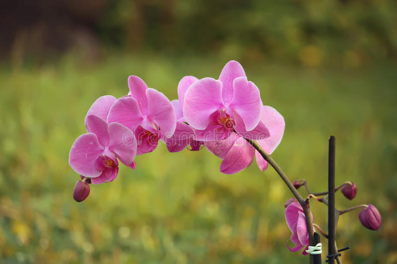 Purple orchid flower. Beaitiful blooming purple orchid flower on summer nature background stock photos